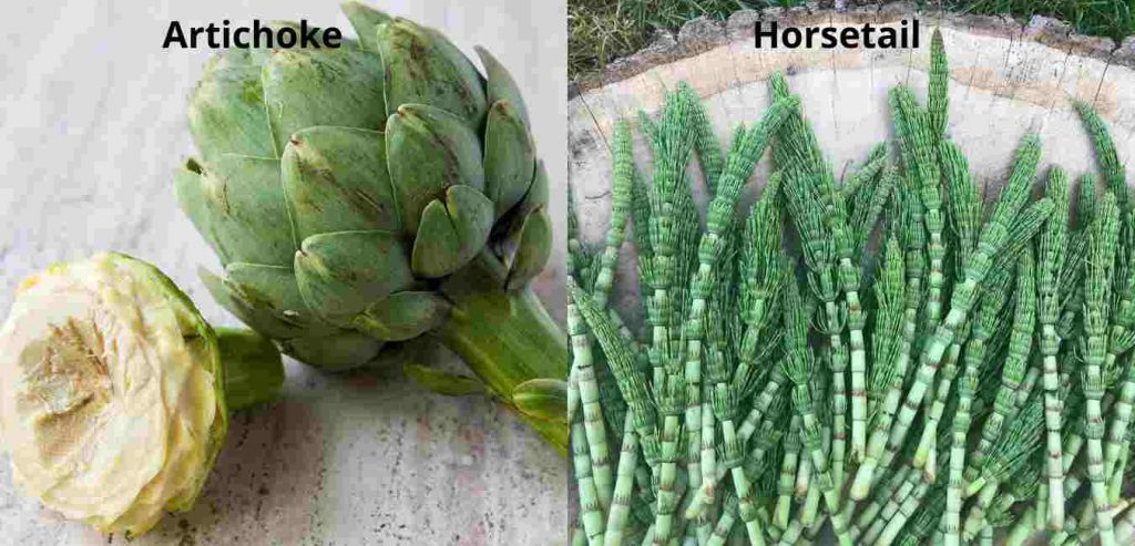Benefits Of Artichoke And Horsetail